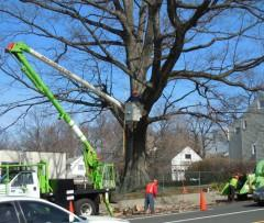 historic teaneck oak tree to be cut down, official says